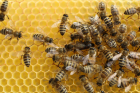 Discovery of RNA transfer through royal jelly could aid development of honey bee vaccines