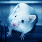 Viruses gleaned from healthy feces fight obesity in mice