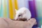 First CRISPR single-nucleotide edited transgenic mice